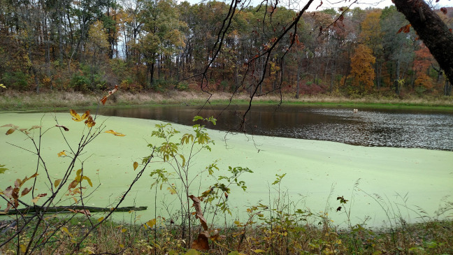 Harmful algal blooms, like the one on this Iowa lake, discolor surface water and pose health risk to humans and animals who are exposed to resulting toxins. Photo courtesy of Elizabeth Swanner.