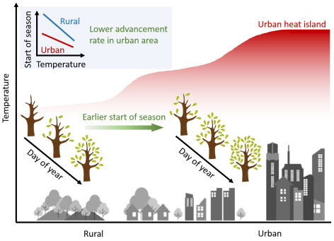 Schematic diagram showing the urban heat island effect on tree phenology.