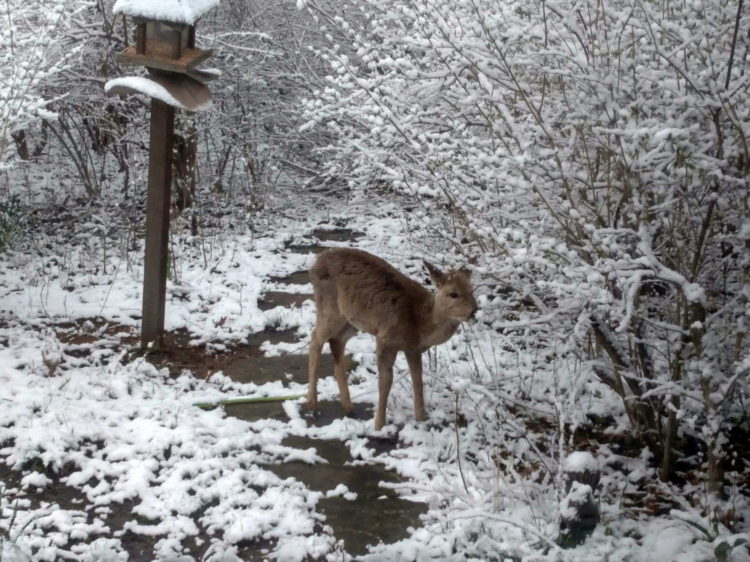 Deer walking on snowy path next to a bird feeder and snow-covered branches