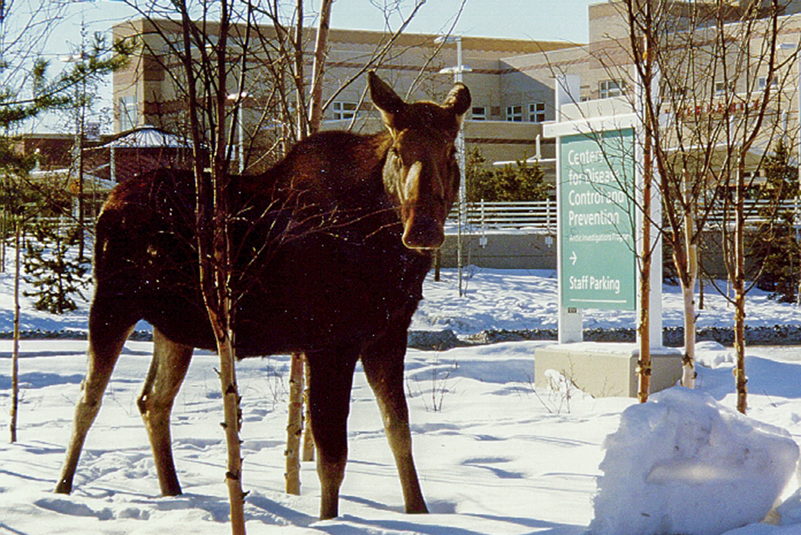 A moose stands in front of the CDC building in Anchorage