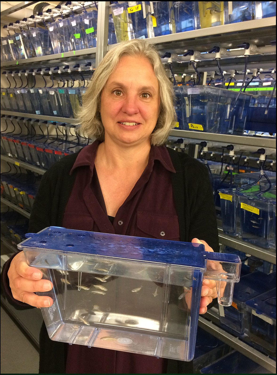 Julie Kuhlman holding a tank of zebrafish, the animal she uses to study the enteric nervous system.
