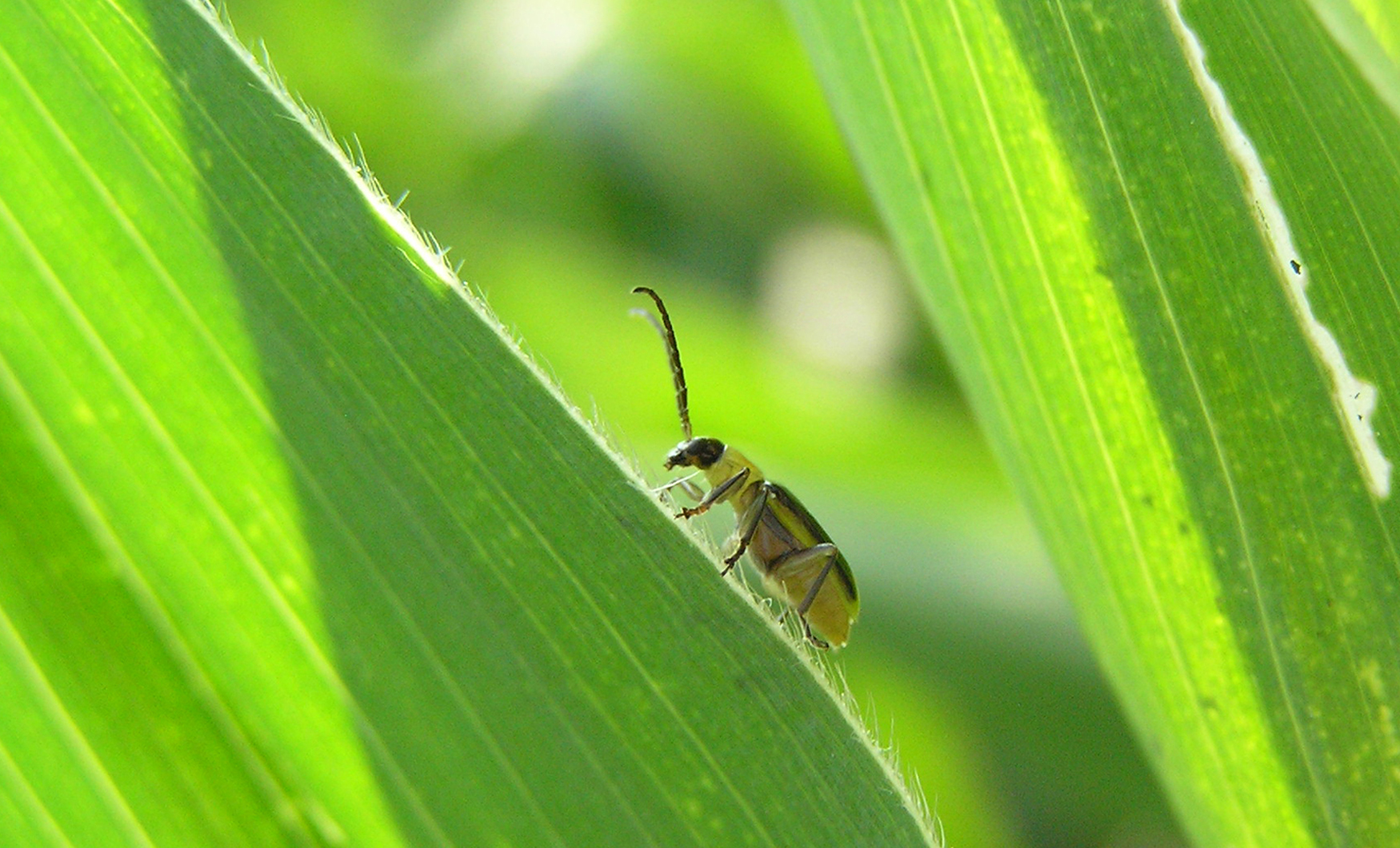 An adult Western corn rootworm crawls on a corn leaf. Photo by Nick Lauter, USDA-ARS.