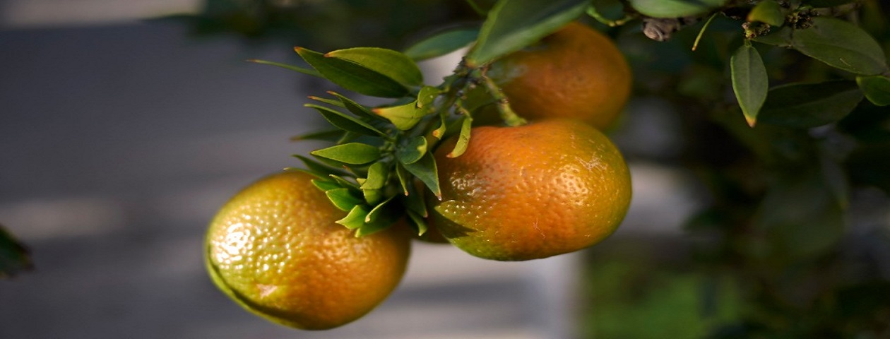 Three oranges attached to stem of tree